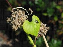 fly, morning glory leaf, walking onion